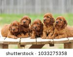 Stock photo five red setter puppies lie on wooden table outdoors horizontal 1033275358