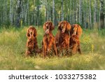 Four Red Dogs Sit On Backgroun...