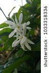 Small photo of Jasminum Adenophyllum white colour