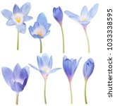light blue crocus flowers... | Shutterstock . vector #1033338595
