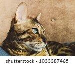 big bengal cat with light green ... | Shutterstock . vector #1033387465