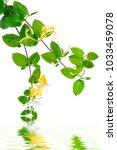 japanese honeysuckle flowers... | Shutterstock . vector #1033459078