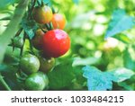 fresh ripe red tomatoes and... | Shutterstock . vector #1033484215