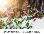 blooming red tulip flowers in... | Shutterstock . vector #1033544002