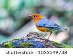 orange headed thrush bird | Shutterstock . vector #1033549738