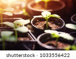 cucumber seedlings growing in...   Shutterstock . vector #1033556422