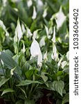 Small photo of Pretty White Flower Petal with Long Stamen. Anthurium amnicola
