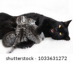 Stock photo cat feeds the kittens the cat guards and protects the kittens cat and kittens 1033631272