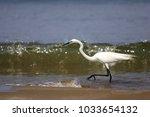 great egret  ardea alba  in...   Shutterstock . vector #1033654132