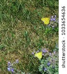 "Small photo of two ""sulfurs"" (yellow alfalfa butterflies) flit around lavender flowers; Harrisonburg, VA, USA"