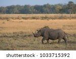 rhino is walking across...   Shutterstock . vector #1033715392