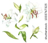 watercolor set of white lilies  ... | Shutterstock . vector #1033767325