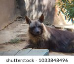 brown hyena in a zoo ... | Shutterstock . vector #1033848496