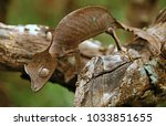 The Satanic Leaf Tailed Gecko...