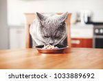Stock photo cat eats food from bowl at table beautiful british gray cat steals food 1033889692