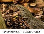 varanus lizard in the... | Shutterstock . vector #1033907365