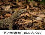 varanus lizard in the... | Shutterstock . vector #1033907398