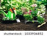 flowers in pot before planting...   Shutterstock . vector #1033936852