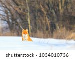 red fox on white snow on a... | Shutterstock . vector #1034010736