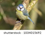 blue tit with open beak | Shutterstock . vector #1034015692