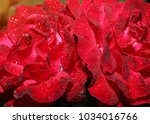 drops of water on the rose.... | Shutterstock . vector #1034016766
