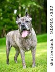 portrait of a cane corso dog...   Shutterstock . vector #1034057332