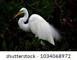 great white egret with breeding ... | Shutterstock . vector #1034068972