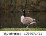 Canadian Black Headed Goose ...