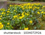 yellow   flowers of caltha... | Shutterstock . vector #1034072926