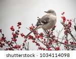 Mockingbird On Red Winter Berr...