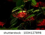 beautiful red spider lily... | Shutterstock . vector #1034127898