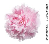 gently pink peony isolated on... | Shutterstock . vector #1034259805