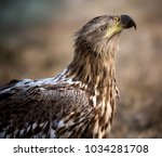 white tailed eagle from hungary | Shutterstock . vector #1034281708