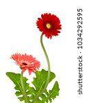 beautiful gerbera daisy flower... | Shutterstock . vector #1034292595