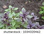 aromatic herbs. basil. ocimum... | Shutterstock . vector #1034320462