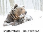 wild brown bear looking in snow | Shutterstock . vector #1034406265