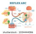 spinal reflex arc anatomical... | Shutterstock .eps vector #1034444086