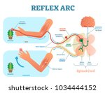 spinal reflex arc anatomical... | Shutterstock .eps vector #1034444152