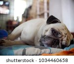 Lovely White Fat Cute Lazy Pug...