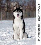 Black And White Male Siberian...