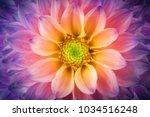 colorful chrysanthemum flower... | Shutterstock . vector #1034516248