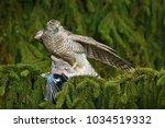 hawk from czech republic.... | Shutterstock . vector #1034519332