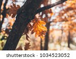 oak tree leaves background with ... | Shutterstock . vector #1034523052