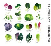 clip art cabbage collection... | Shutterstock .eps vector #1034561458