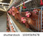battery cage of layer chickens... | Shutterstock . vector #1034569678