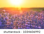 bright lavender field at sunset.... | Shutterstock . vector #1034606992