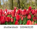 Beautiful Spring Tulip Flowers...