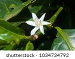 coffee tree blossom with white...   Shutterstock . vector #1034734792