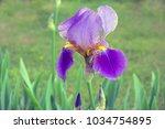 Bearded Purple Iris Flower In...