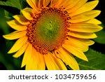 Single Sunflower   Closeup Of...